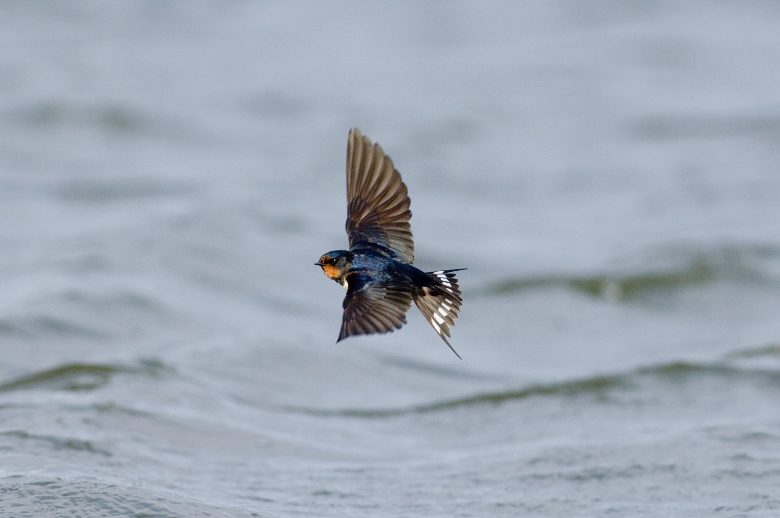 Swallow feeding over water