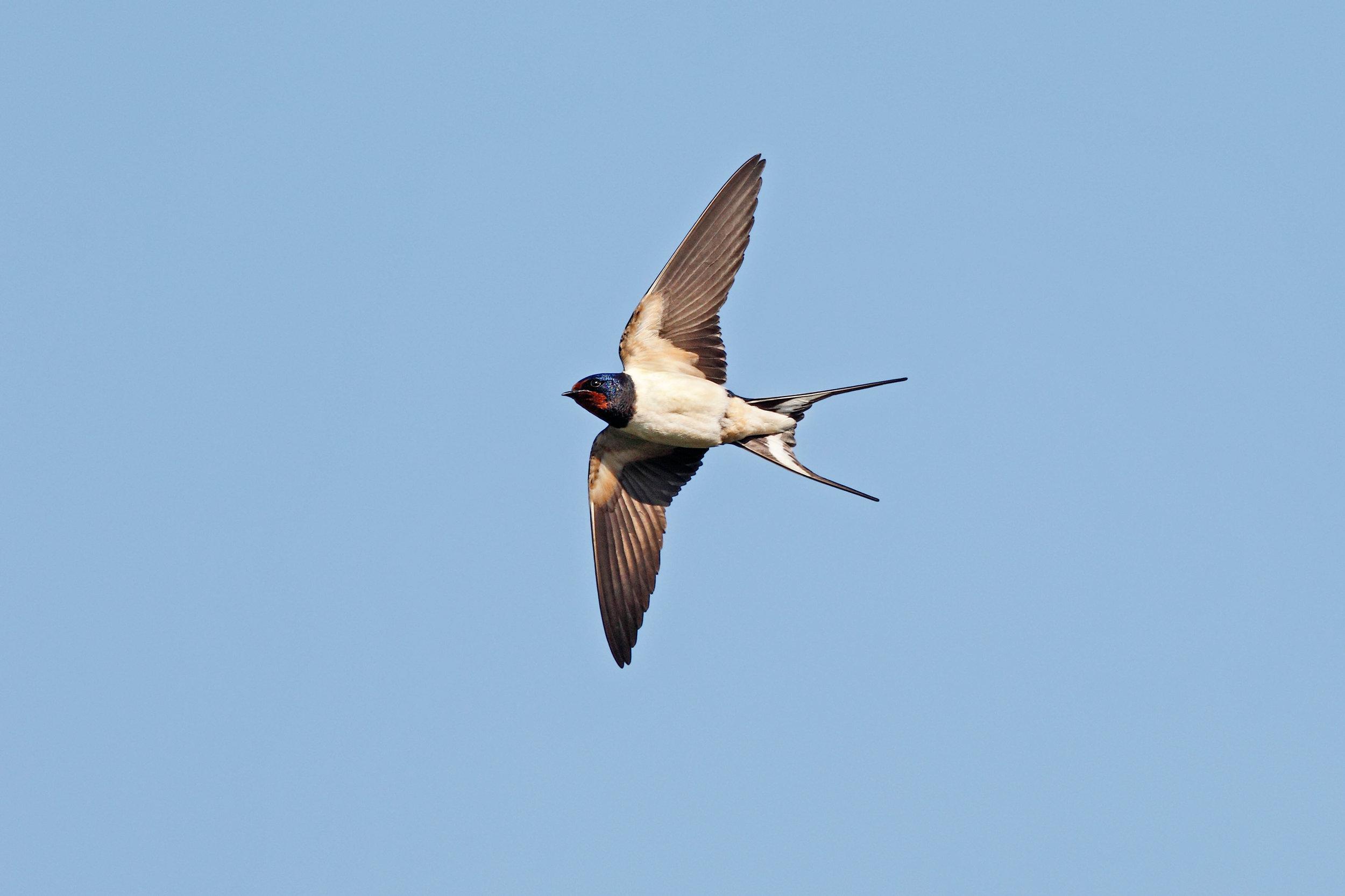 Swallow underside