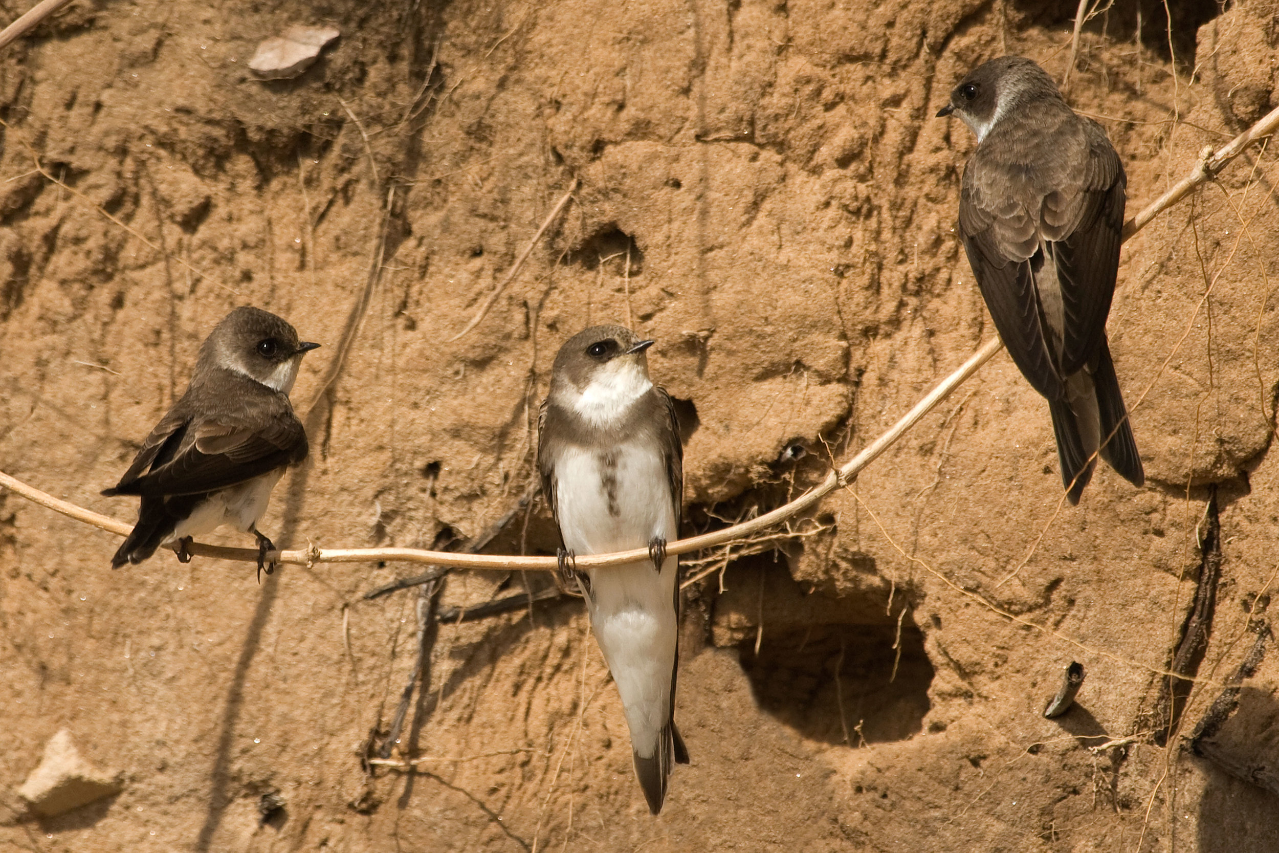 Sand Martins near nest holes