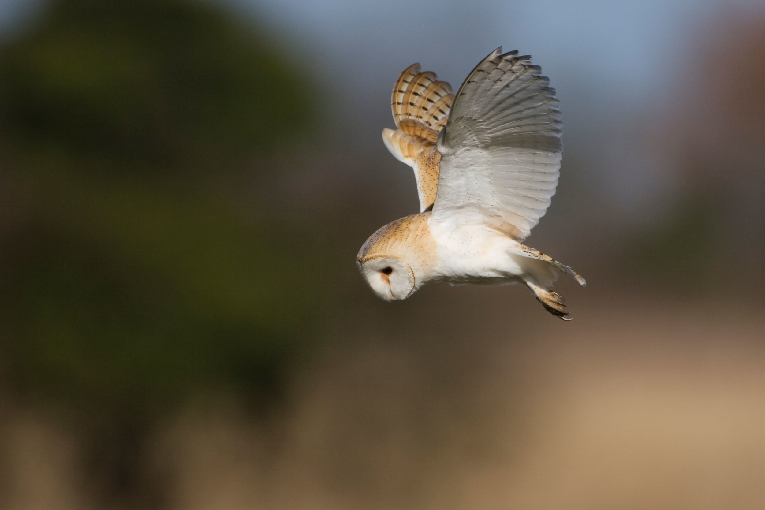 Barn Owl hunting by day