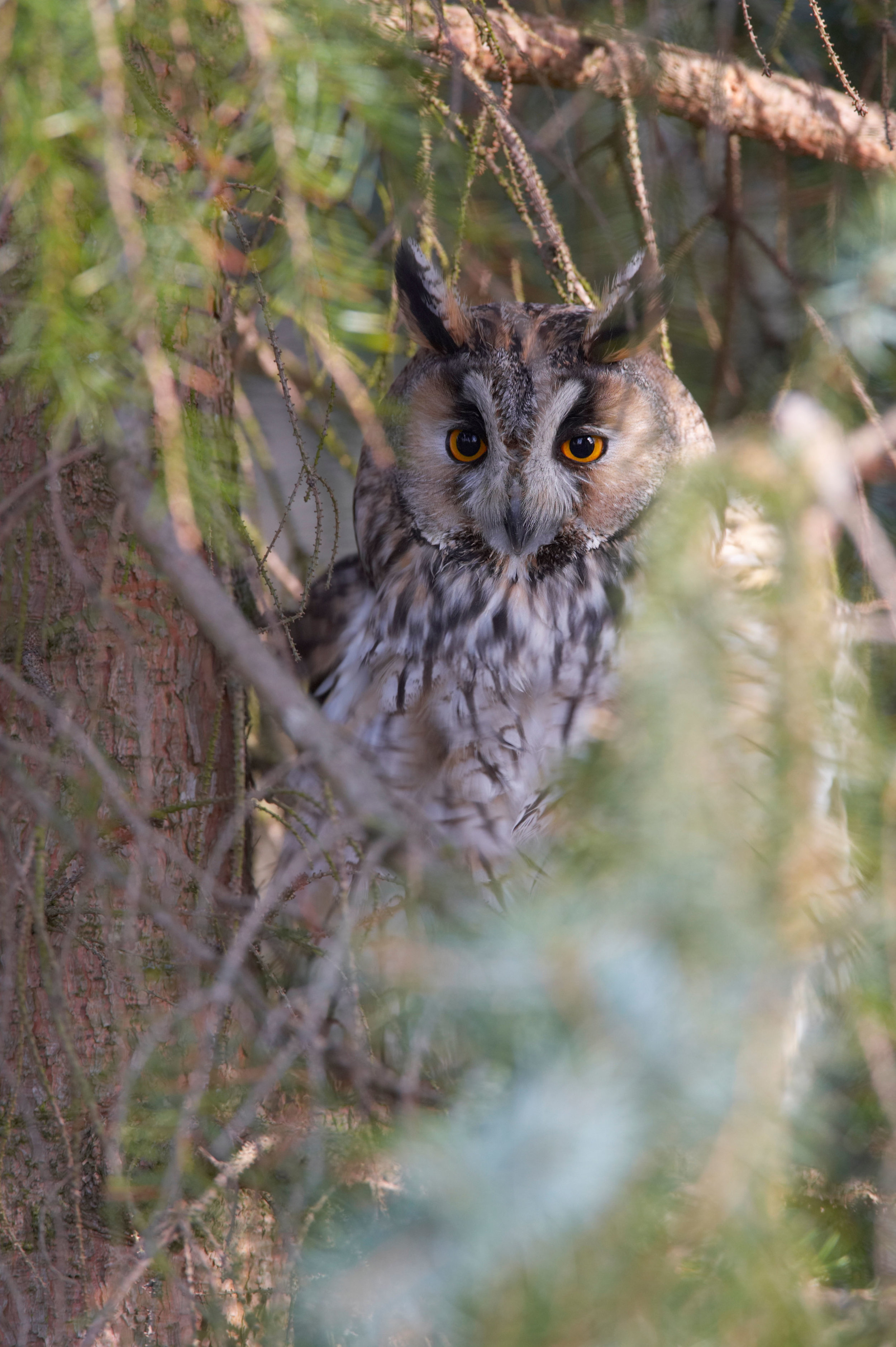 Long-eared Owl at roost site