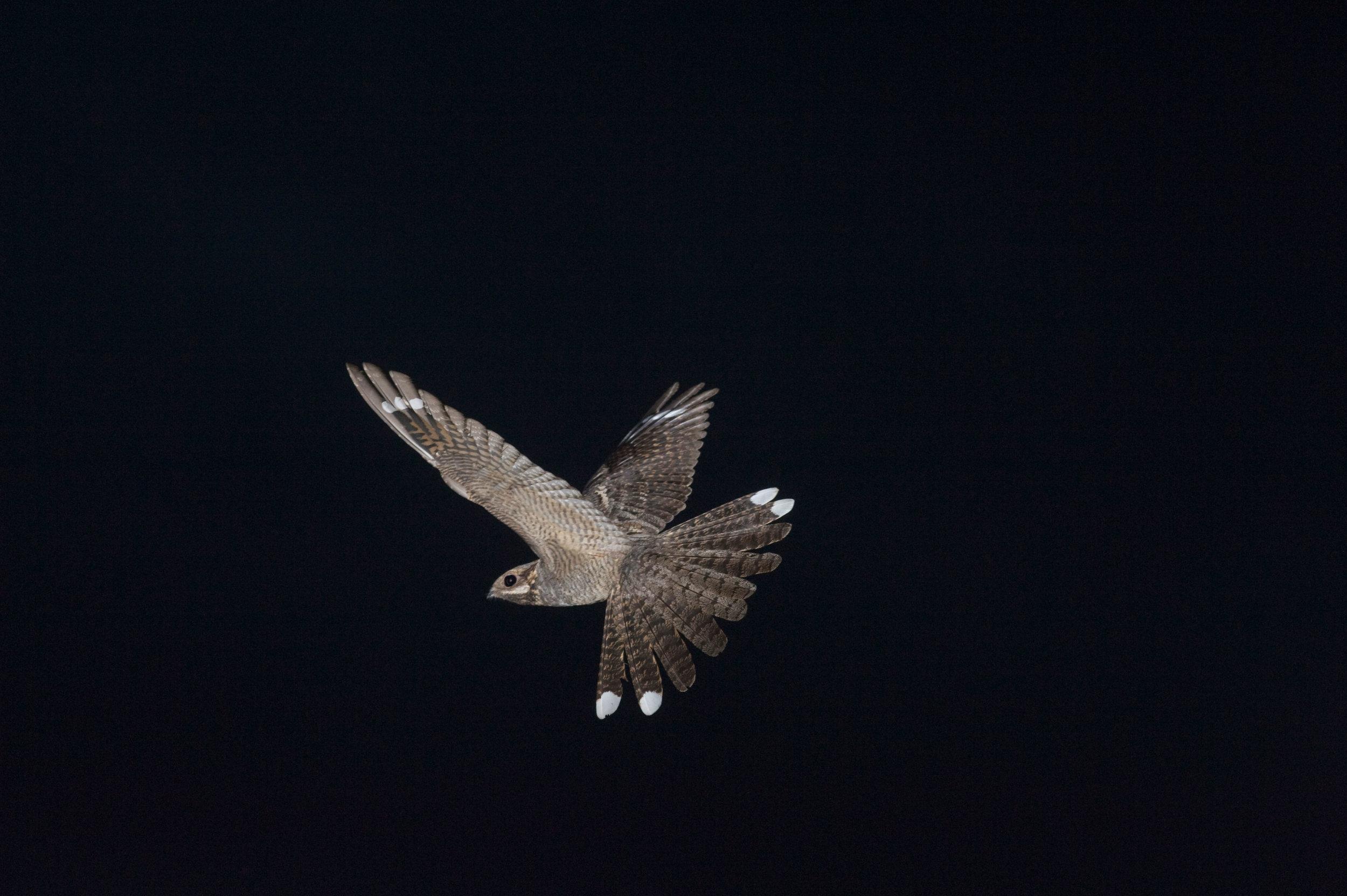 Male Nightjar