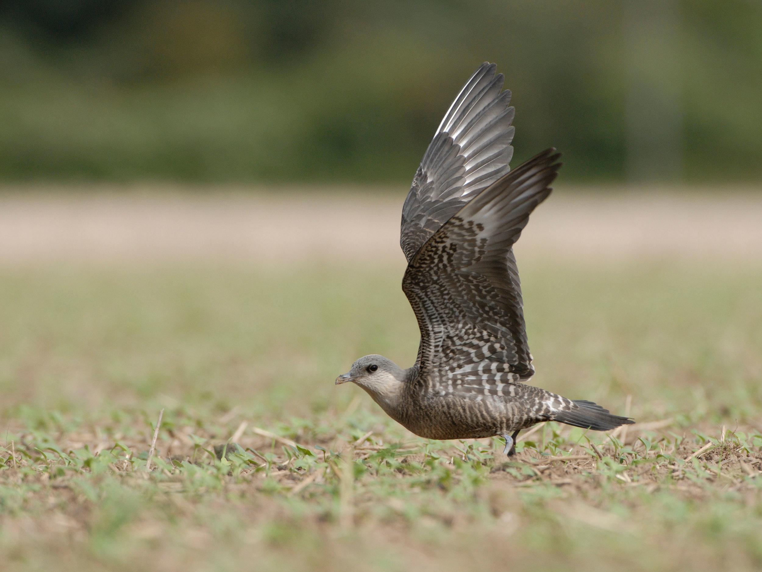 Long-tailed Skua, intermediate morph juvenile