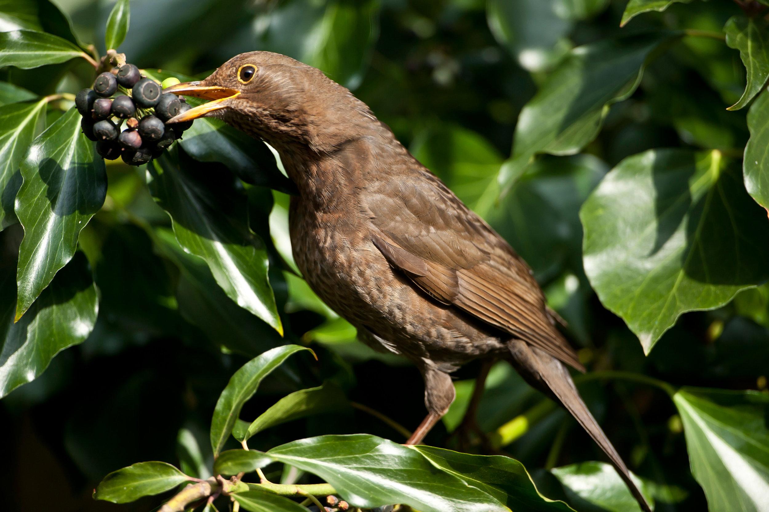 Adult female Blackbird
