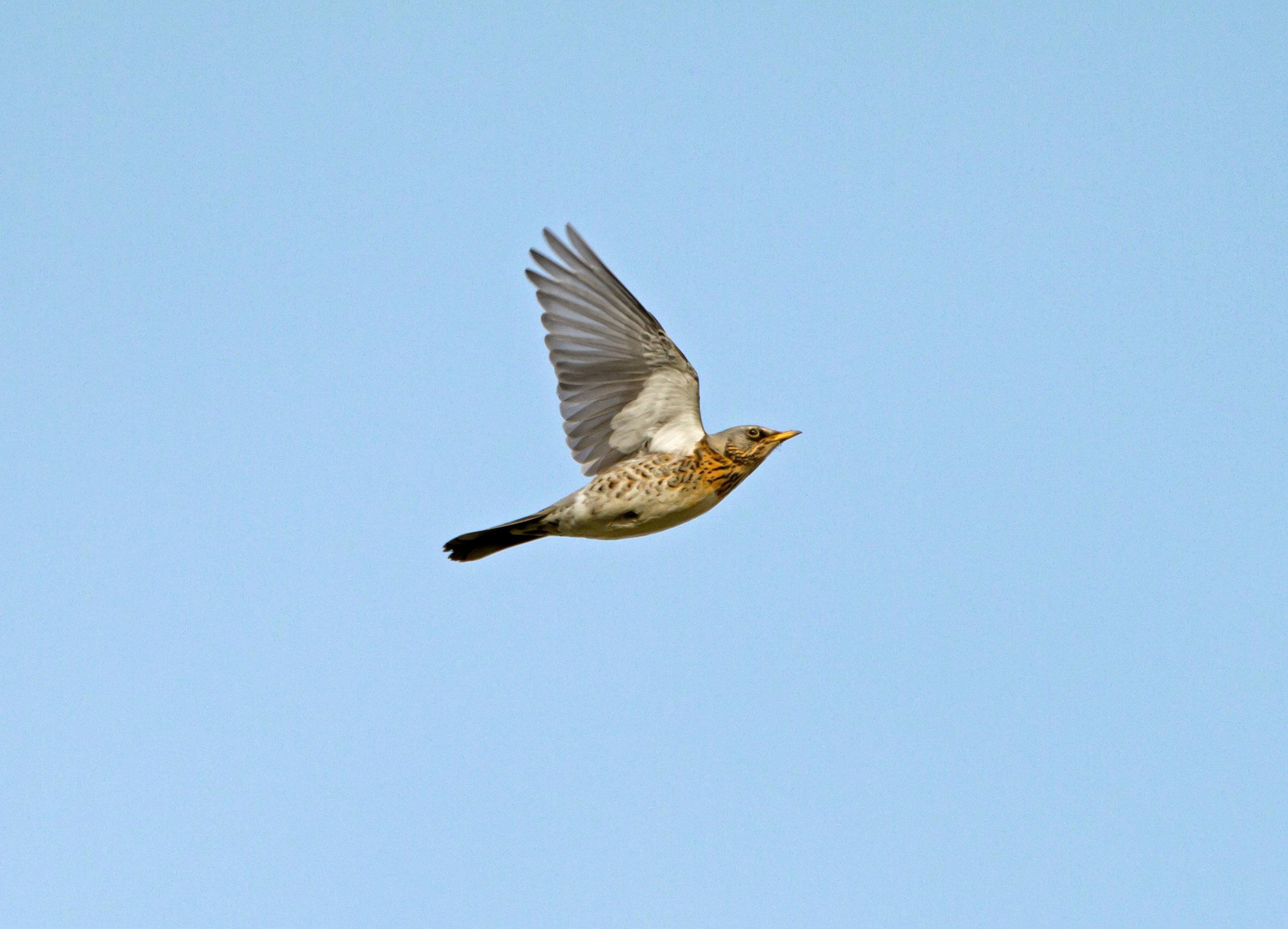 Flying Fieldfare