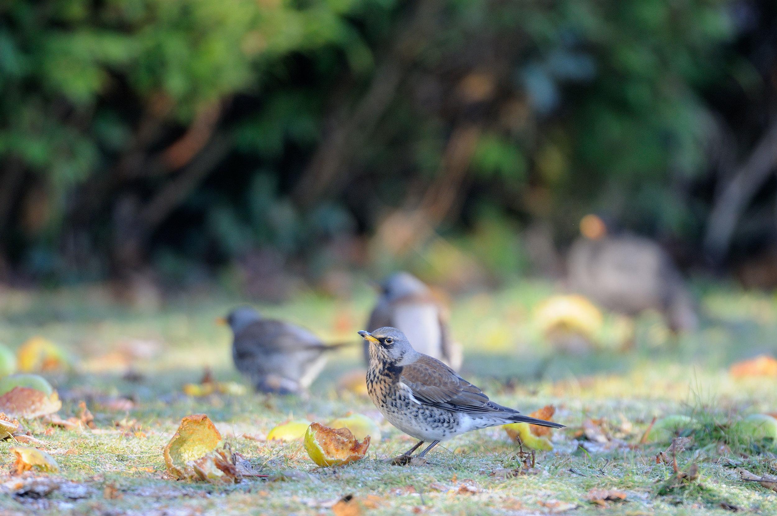 Fieldfares feeding on fallen apples