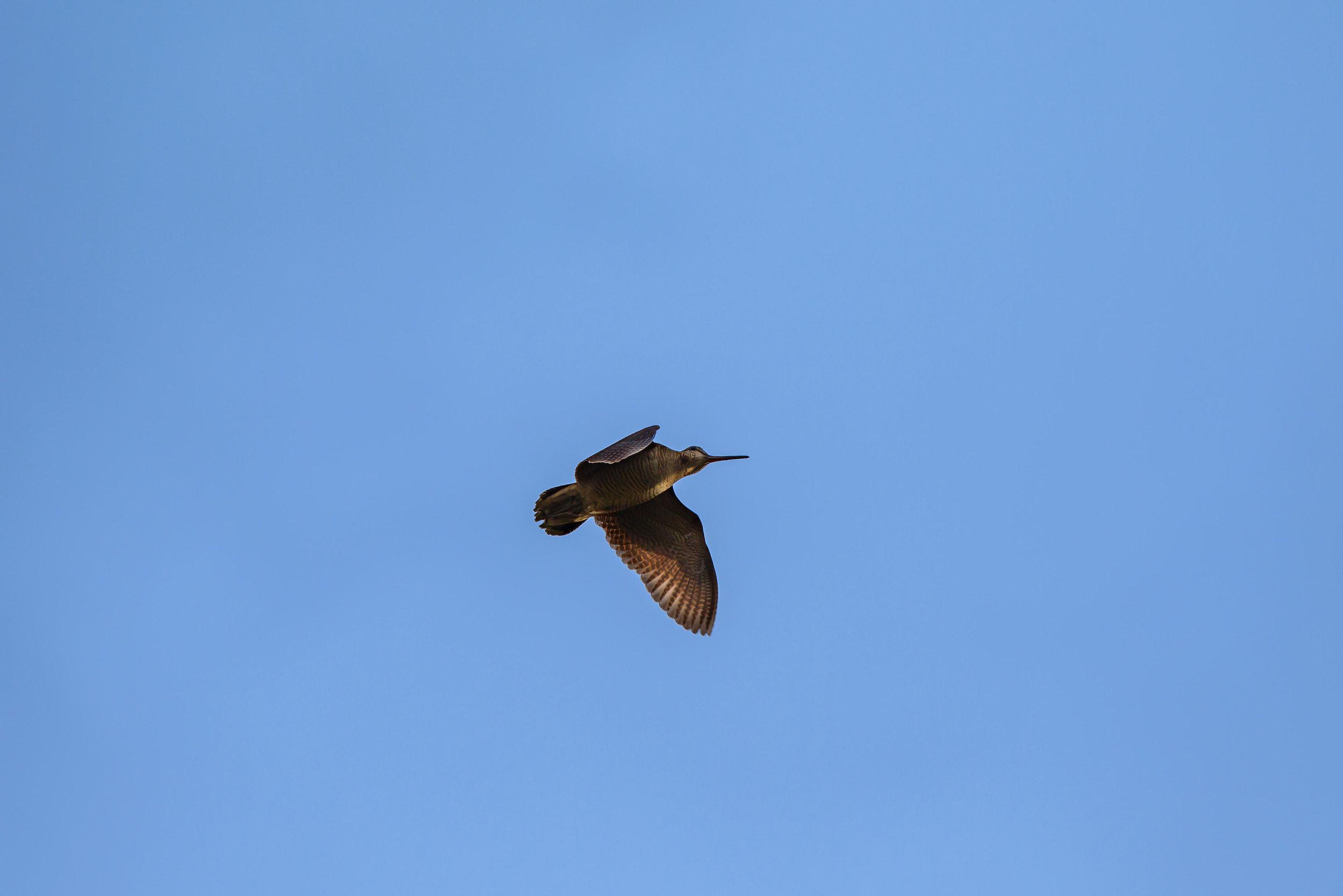 Woodock in roding display flight