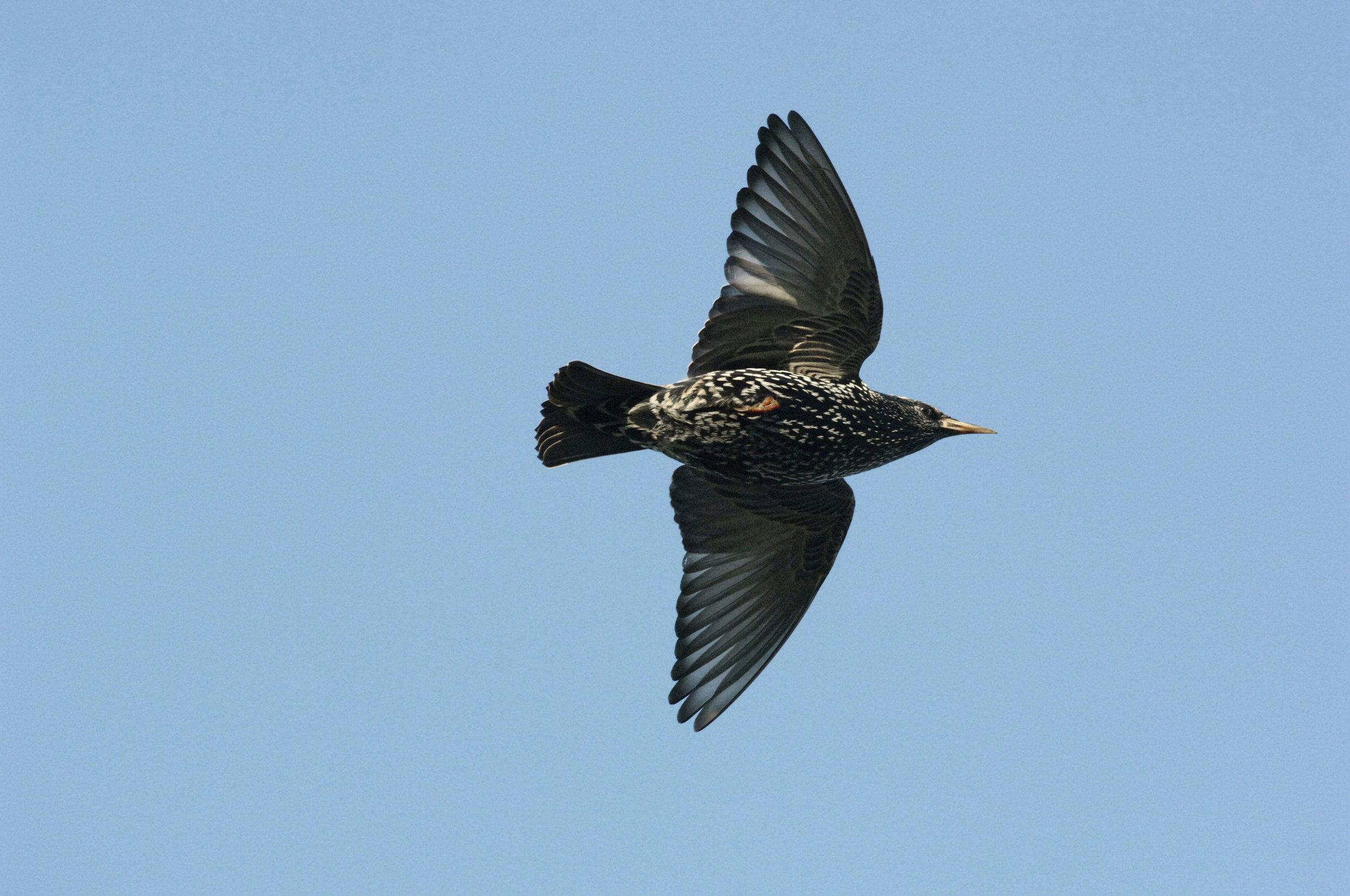 Winter adult Starling in flight
