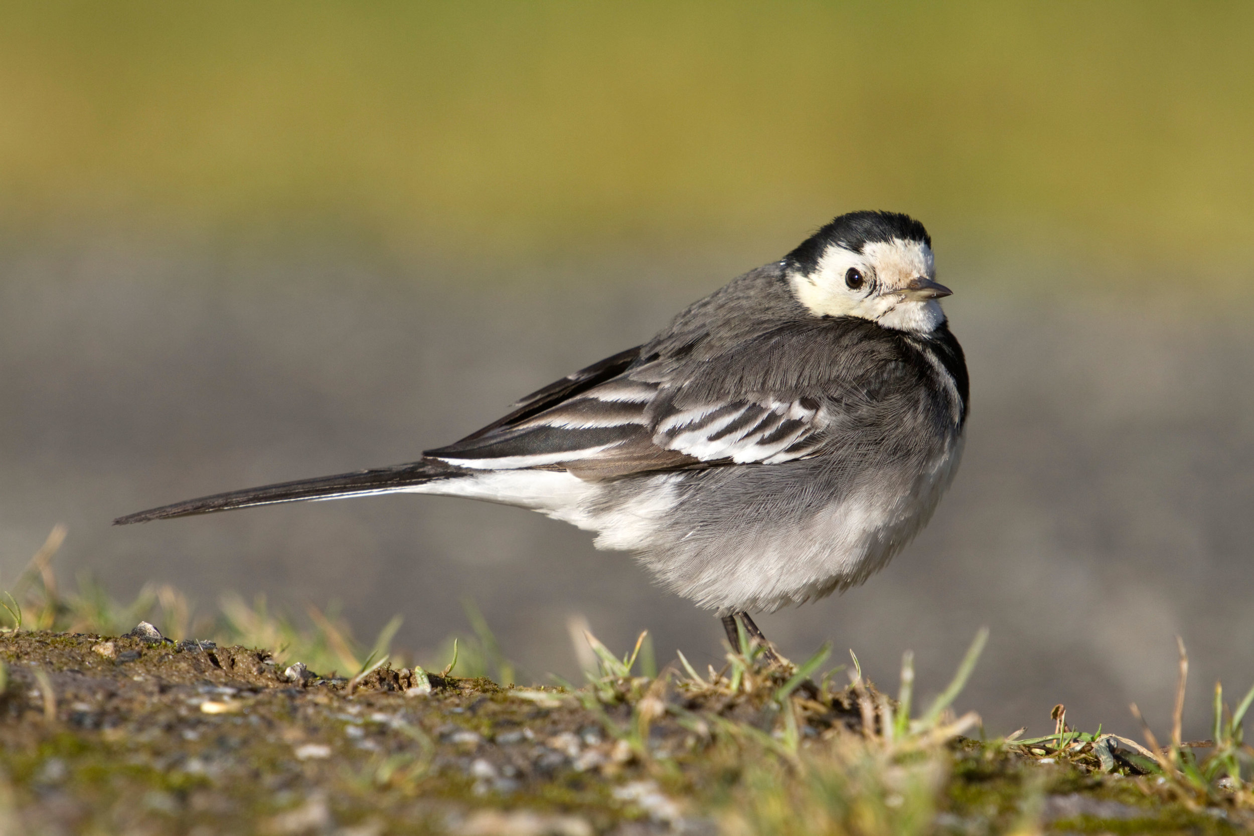 Pied Wagtail, female