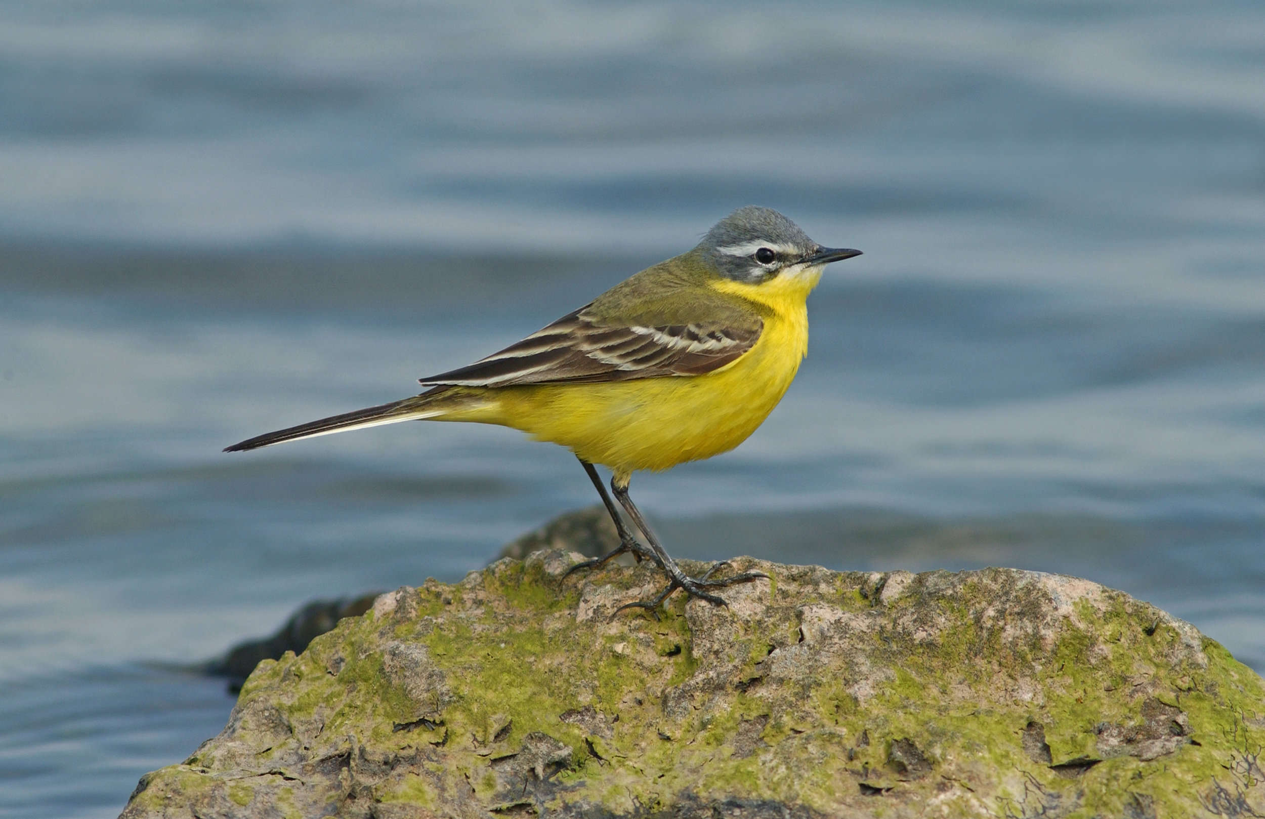 Blue-headed Wagtail, male