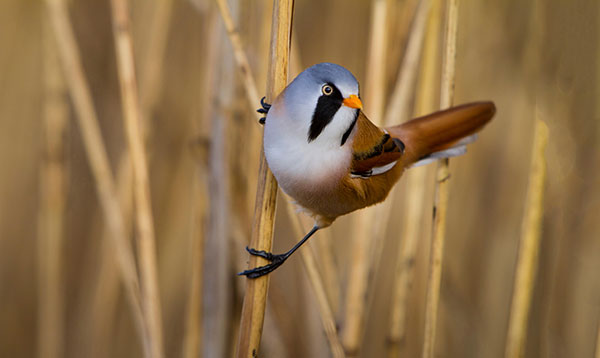 Bearded Tit by blickwinkel / Alamy