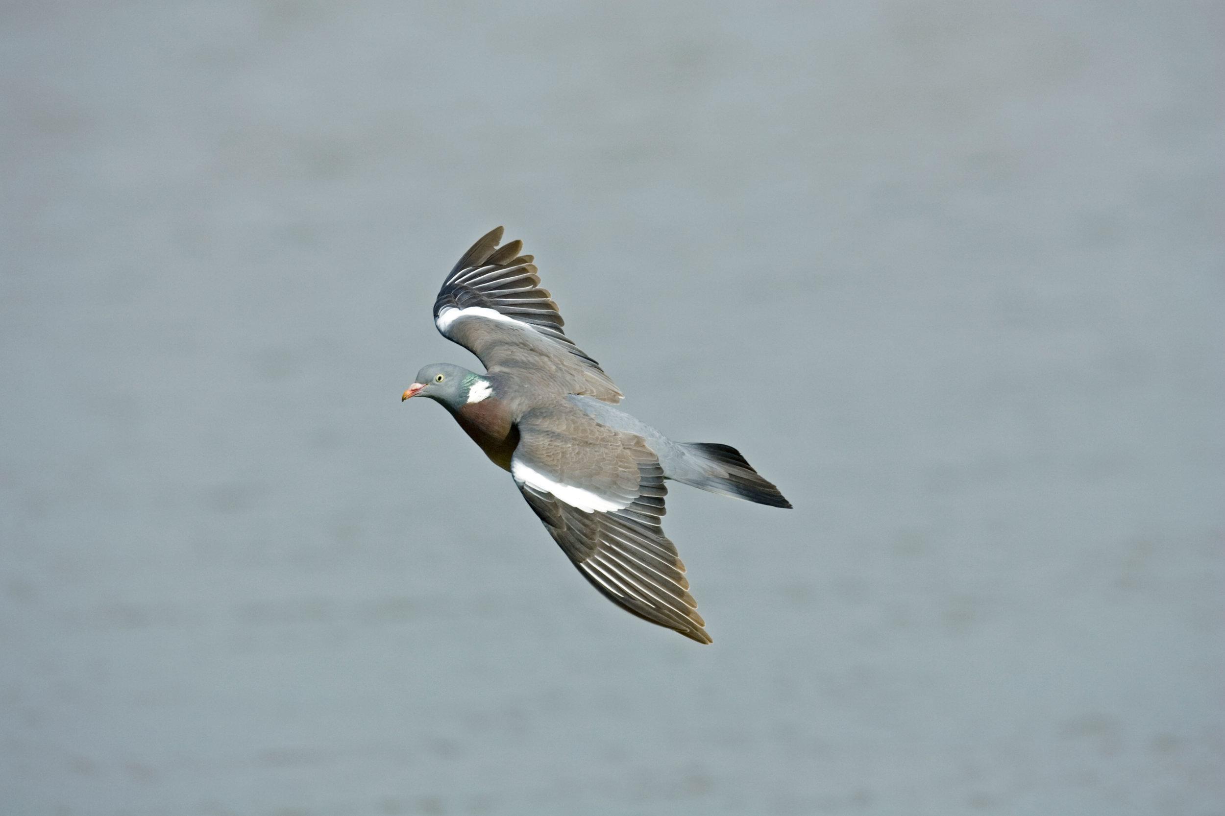 Flying Woodpigeon