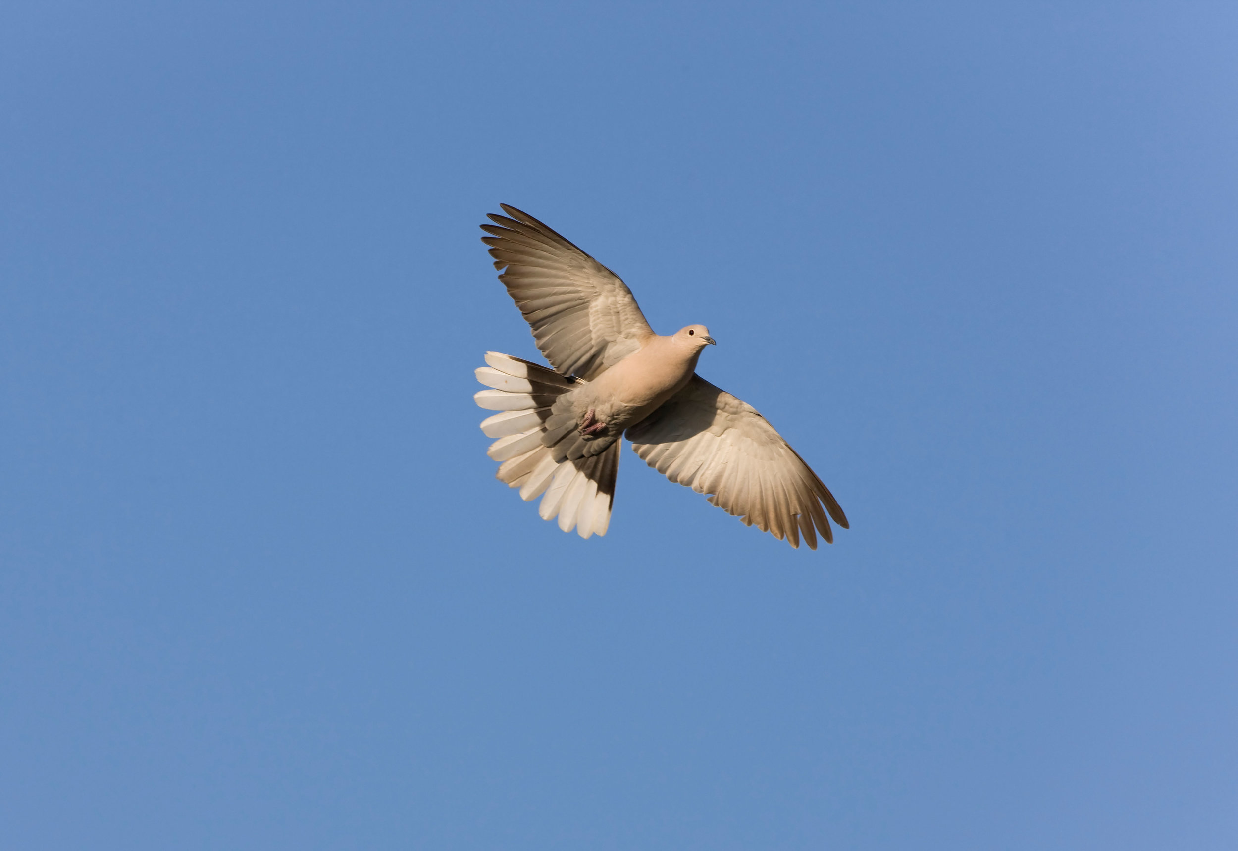 Flying Collared Dove