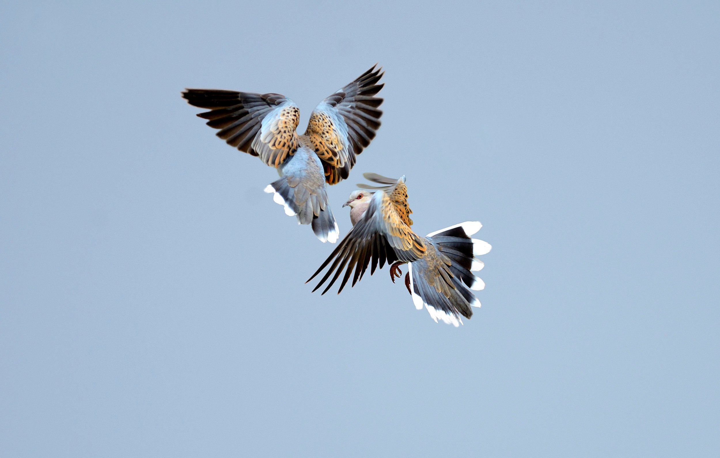 Flying Turtle Doves