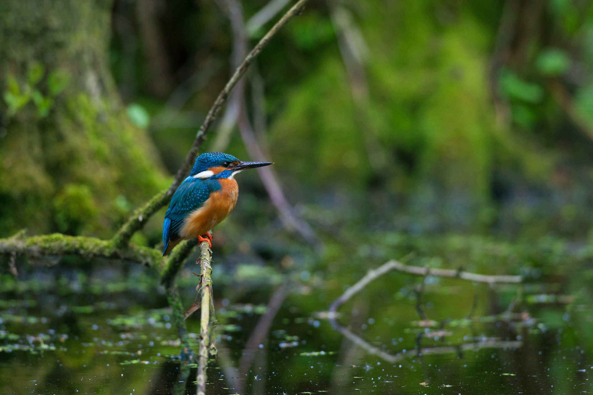 Classic perched Kingfisher