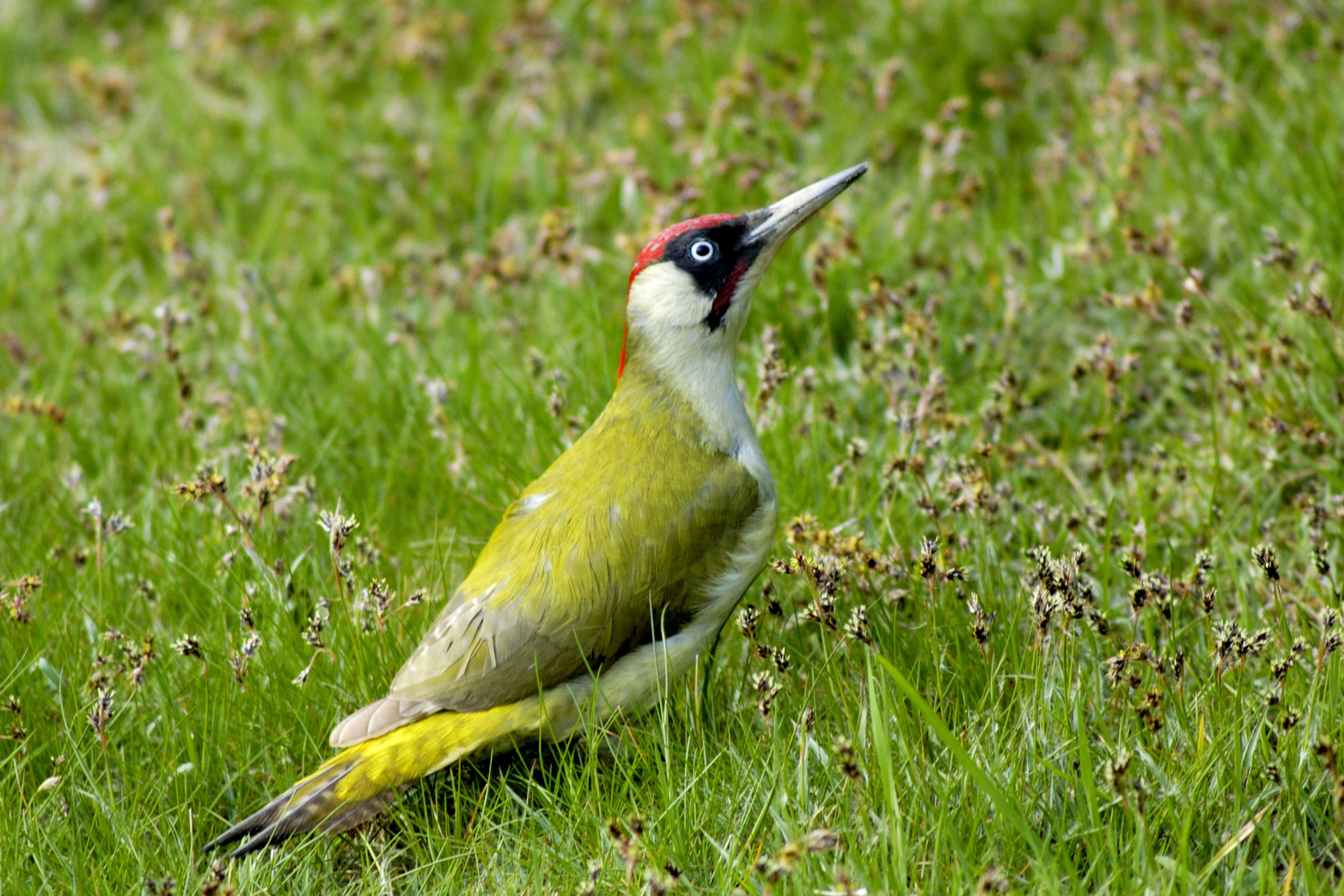 Green Woodpecker feeding on the ground. Note this is an adult male, as told by the red in the 'moustache' (females have a black 'moustache')