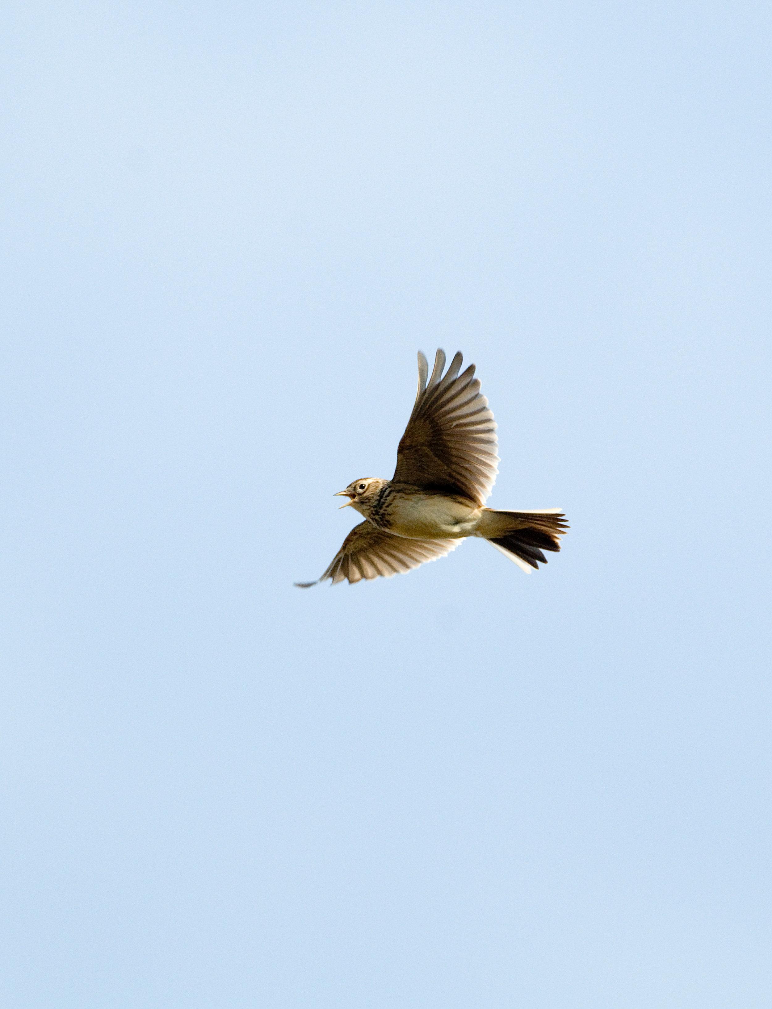 Sky Lark in hovering song flight