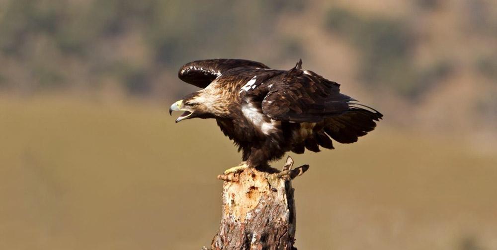 Spanish imperial eagle photo credit Birding Extremadura