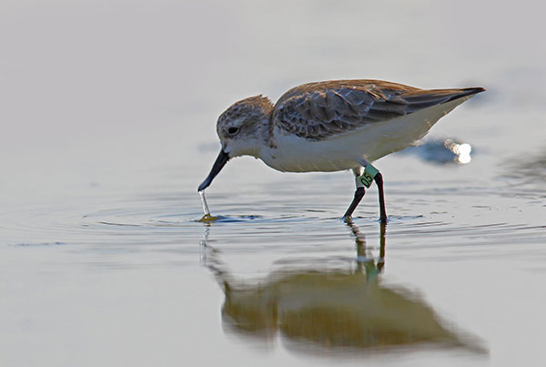 Spoon-billed-sandpiper_1_preview.jpg