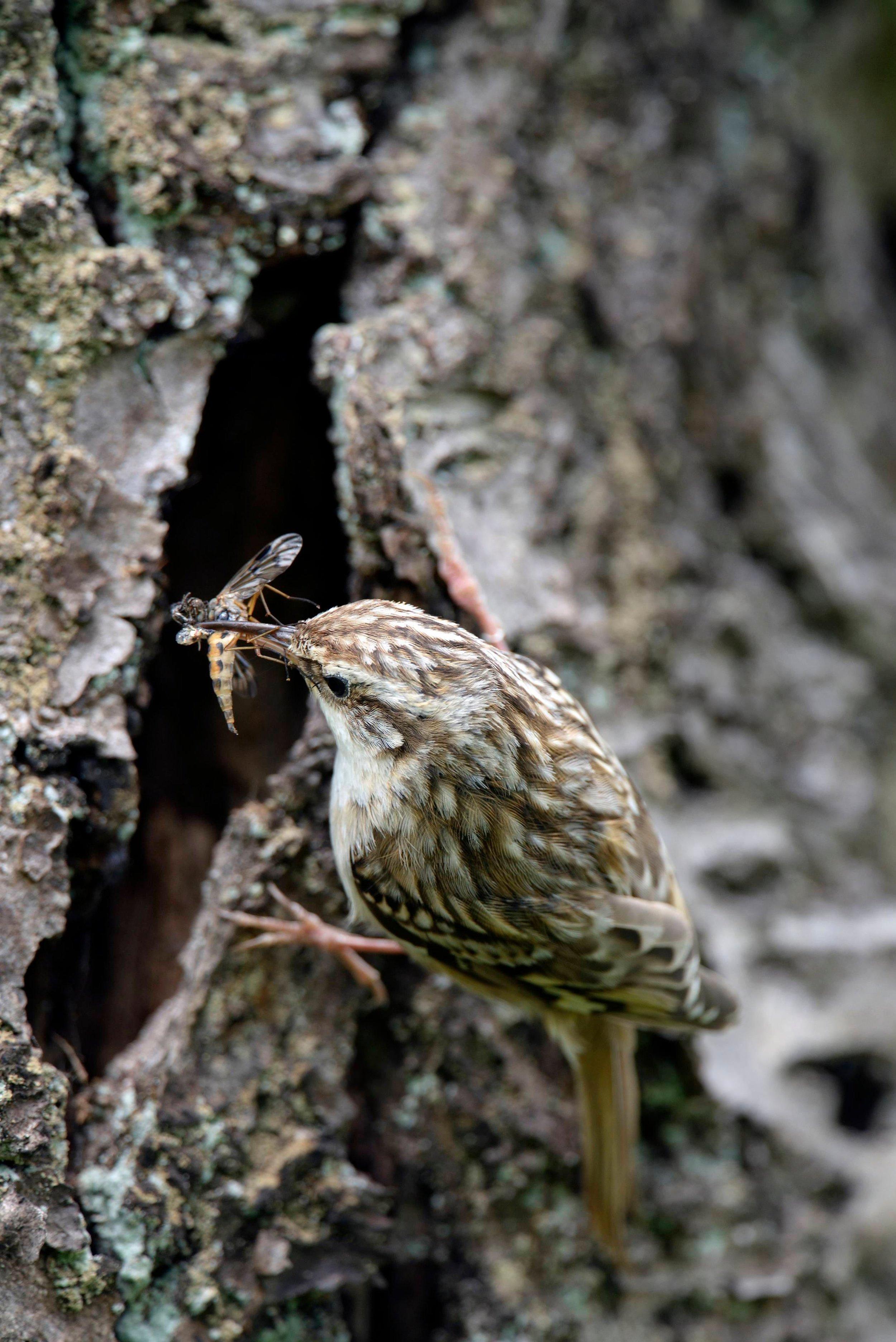 Treecreeper at the nest cavity