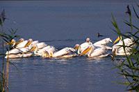 White-Pelikan.jpg