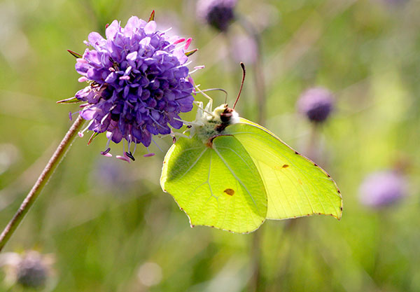 Brimstone Butterfly Naturepix/Alamy
