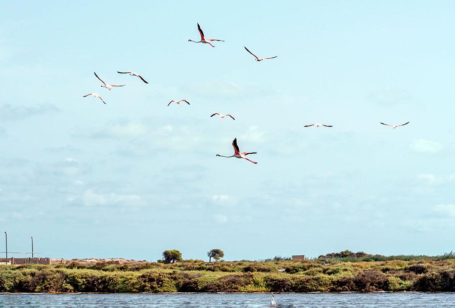 Flamingoes taking flight over the salt lakes at Santa Pola - Colin Majury/Alamy