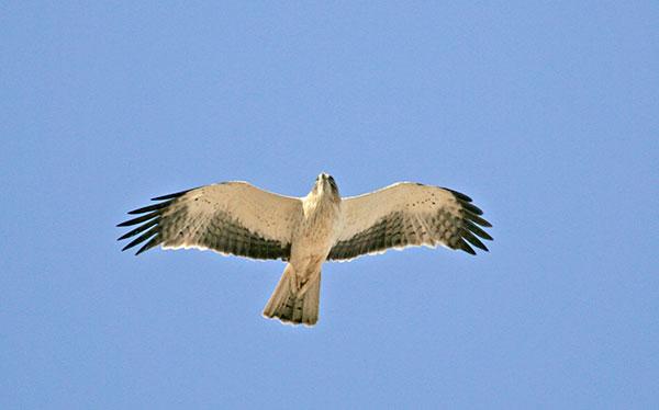 Pale-morph Booted Eagle - blickwinkel/Alamy