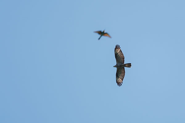 Honey Buzzard (and Bee-eater). Pic: David Lindo