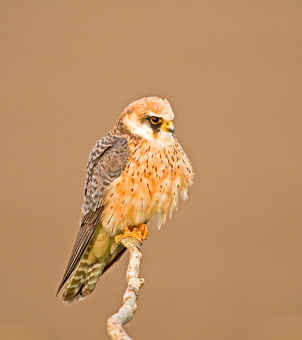 Red-footed Falcon. Pic: Garth Peacock/Alamy