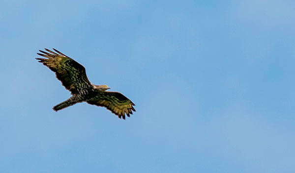 Honey Buzzard by David Lindo