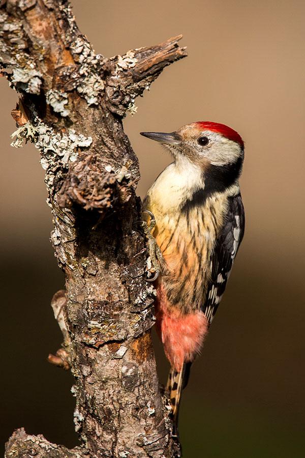 Middle-spotted Woodpecker Rubén Cebrián