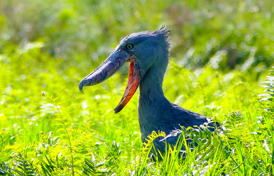 The wonderful Shoebill!