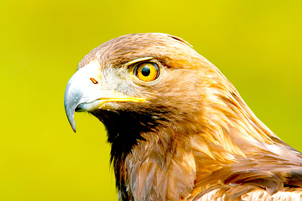 Golden Eagle by William Leaman/Alamy