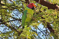 Plum-Headed-Parakeet.jpg