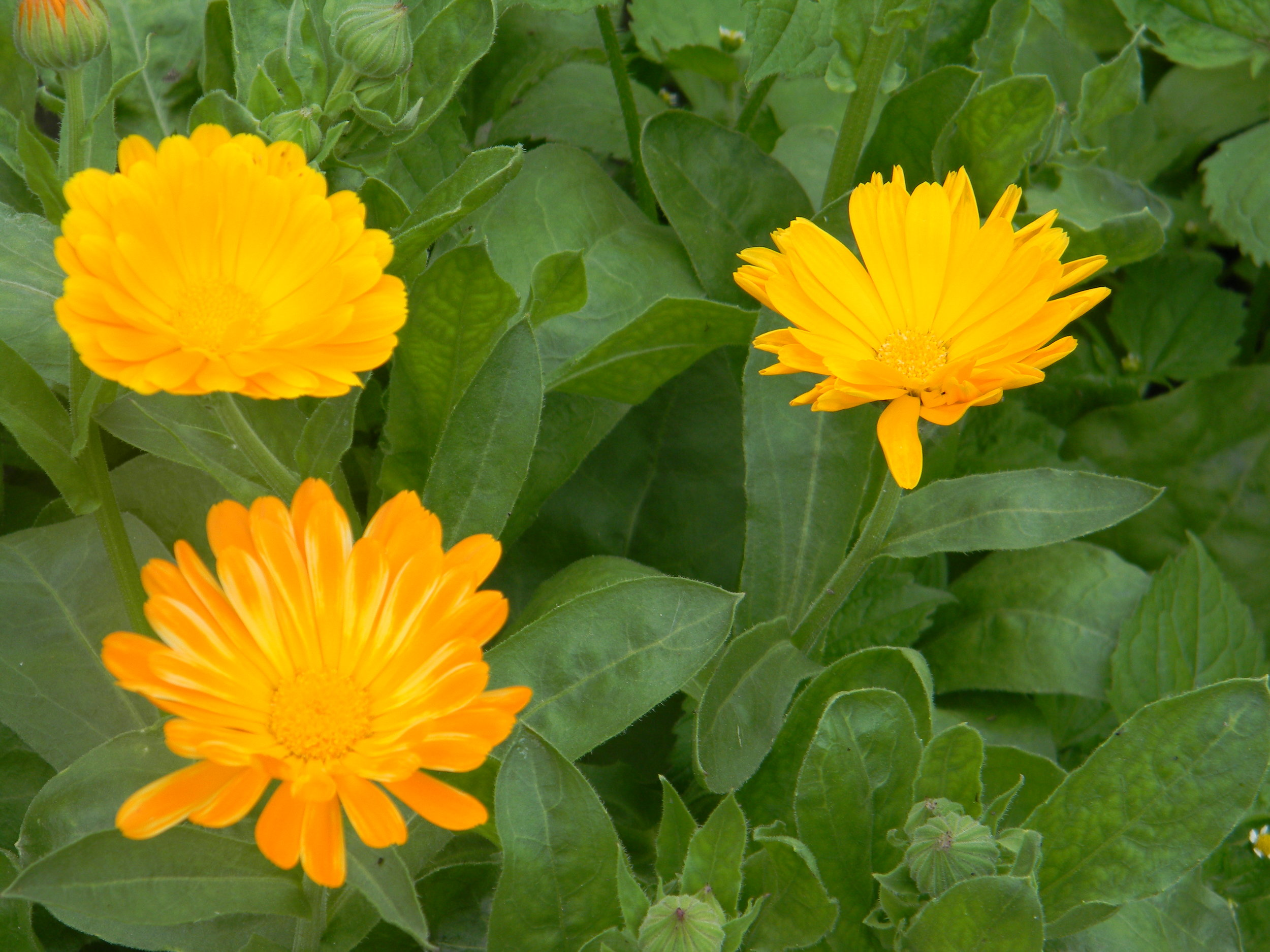 Calendula - Calming & moisturizing