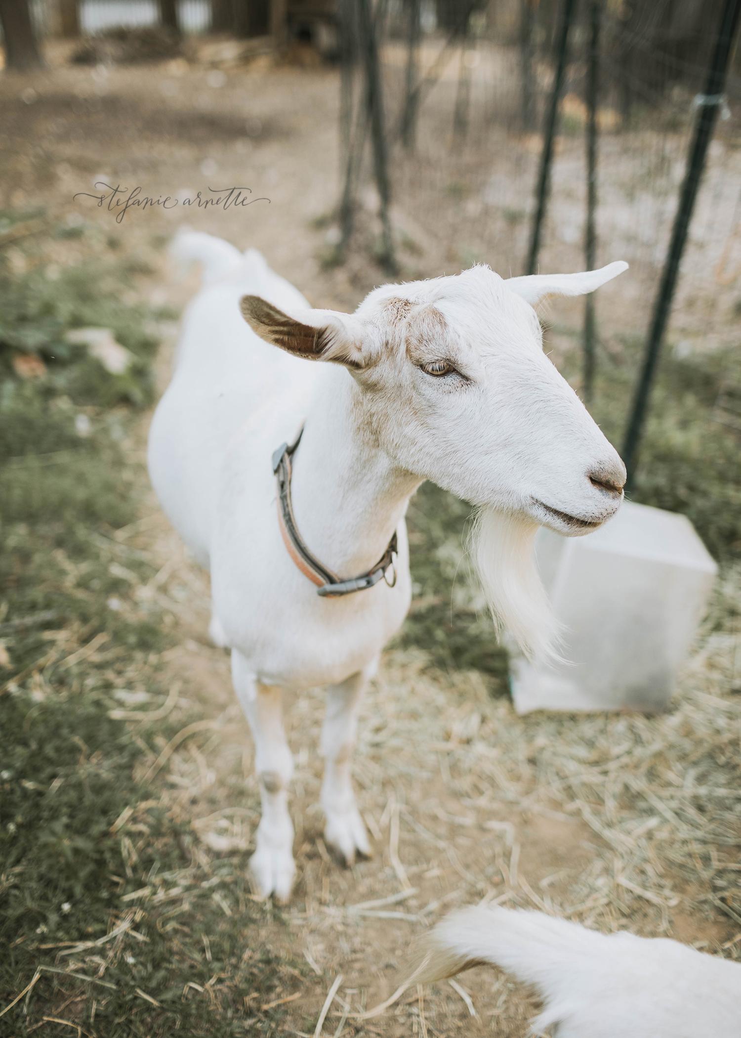 goats_49.jpg