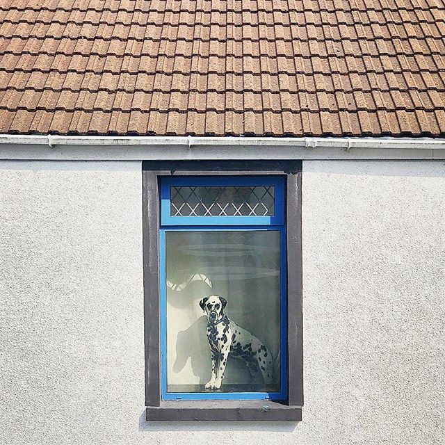 Doggo next door  _ #dalmation #dog #onwatch #windows #frame