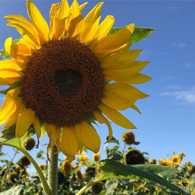 Sunday mooches with family  _ #sun #sunday #sunflower #sunny #rhossilisunflowers #wildlifehabitats #gower #gottalivewhereyoulive