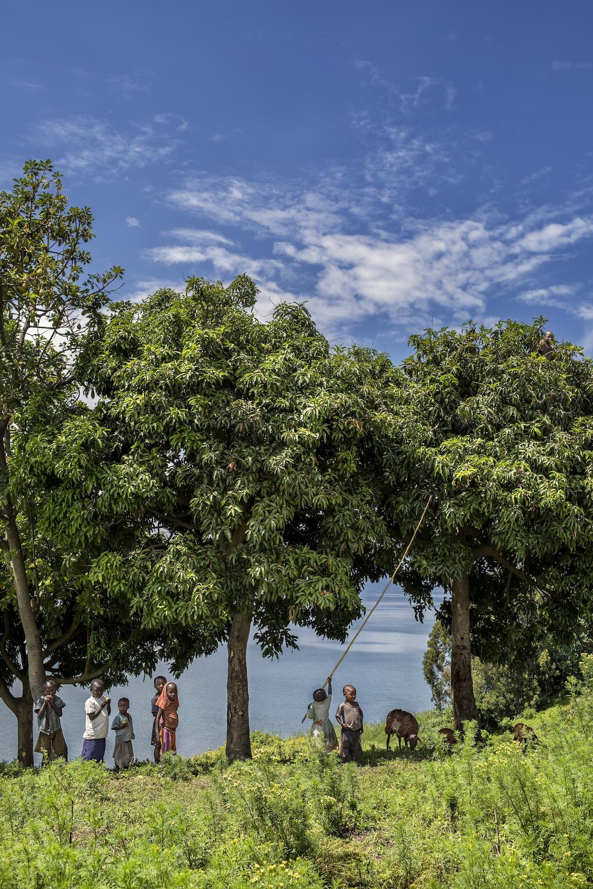 Idjwi Tree