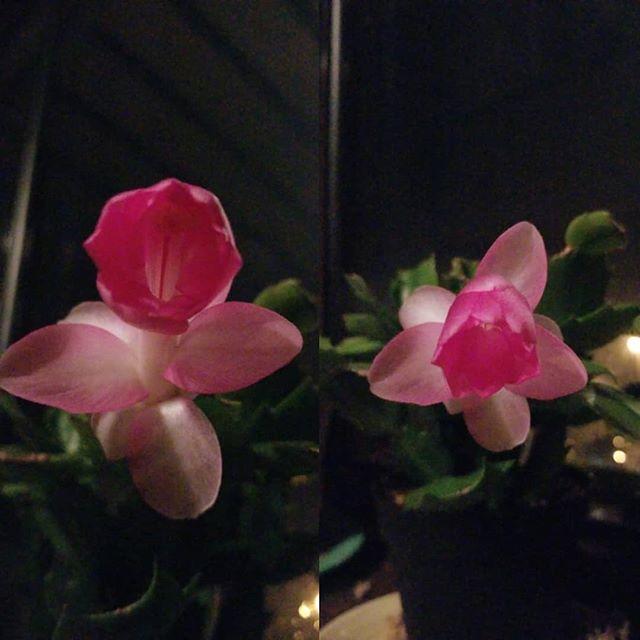 #wintercactus #cactus #flower #cactusflower #pink