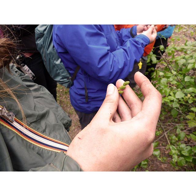 Alder catkins: an excellent source of macronutrients while you're out in the bush. Bitter, but edible. . . . #survivaltraining #survivalbushcraft #wildedibles #livingofftheland #alder #catkin #bushcraft