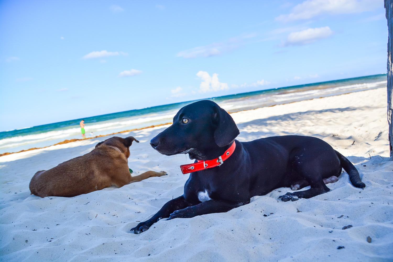 Beach dog cum street dog with Berto - Tulum, Mexico