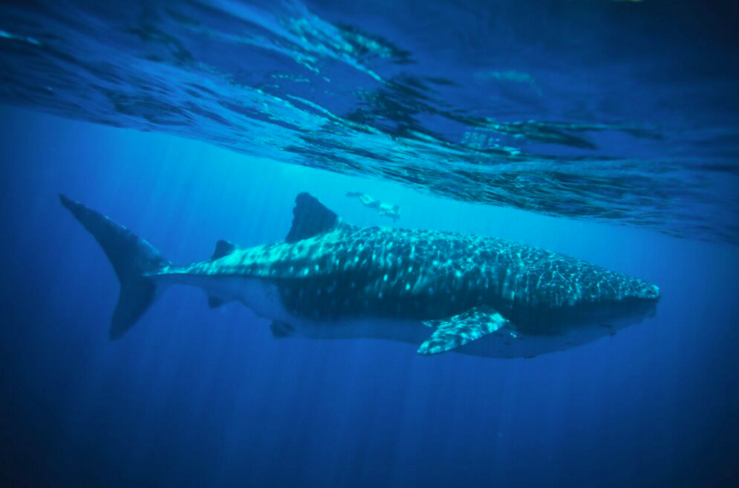 Swim with the Whale Sharks