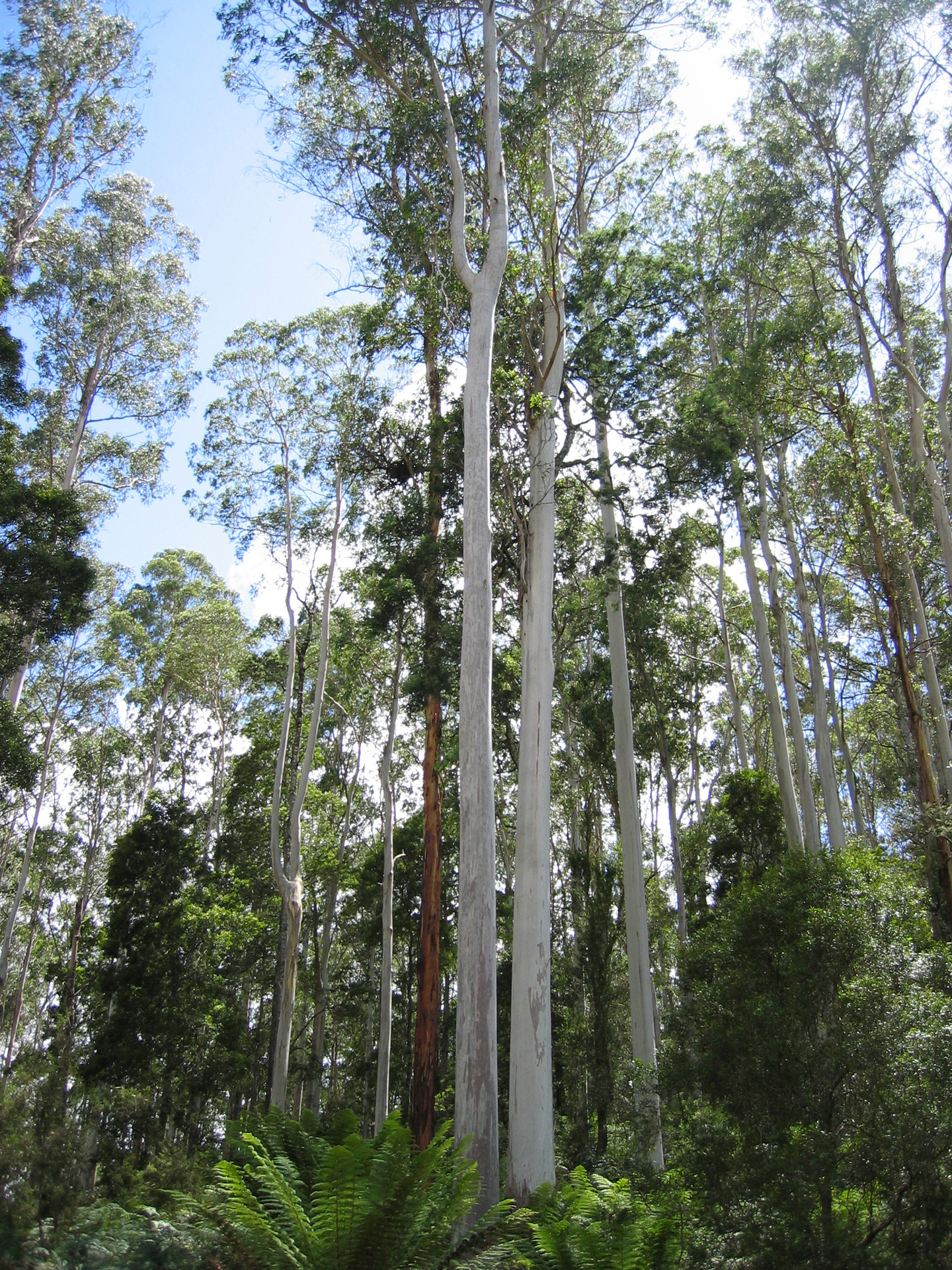 White Gum forest in The Valley - Photo by Trudi Bird