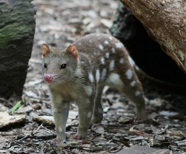 Spotted-Tailed Quoll - image from  Wikipedia