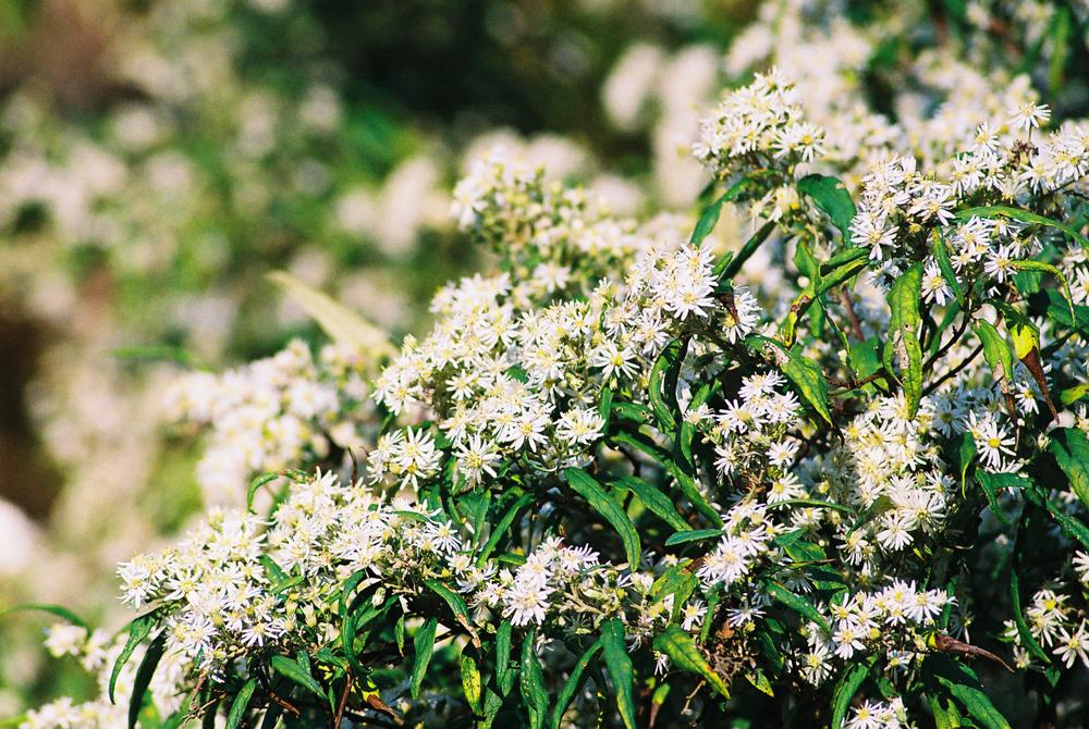 Forest Daisybush - Photo by Trudi Bird