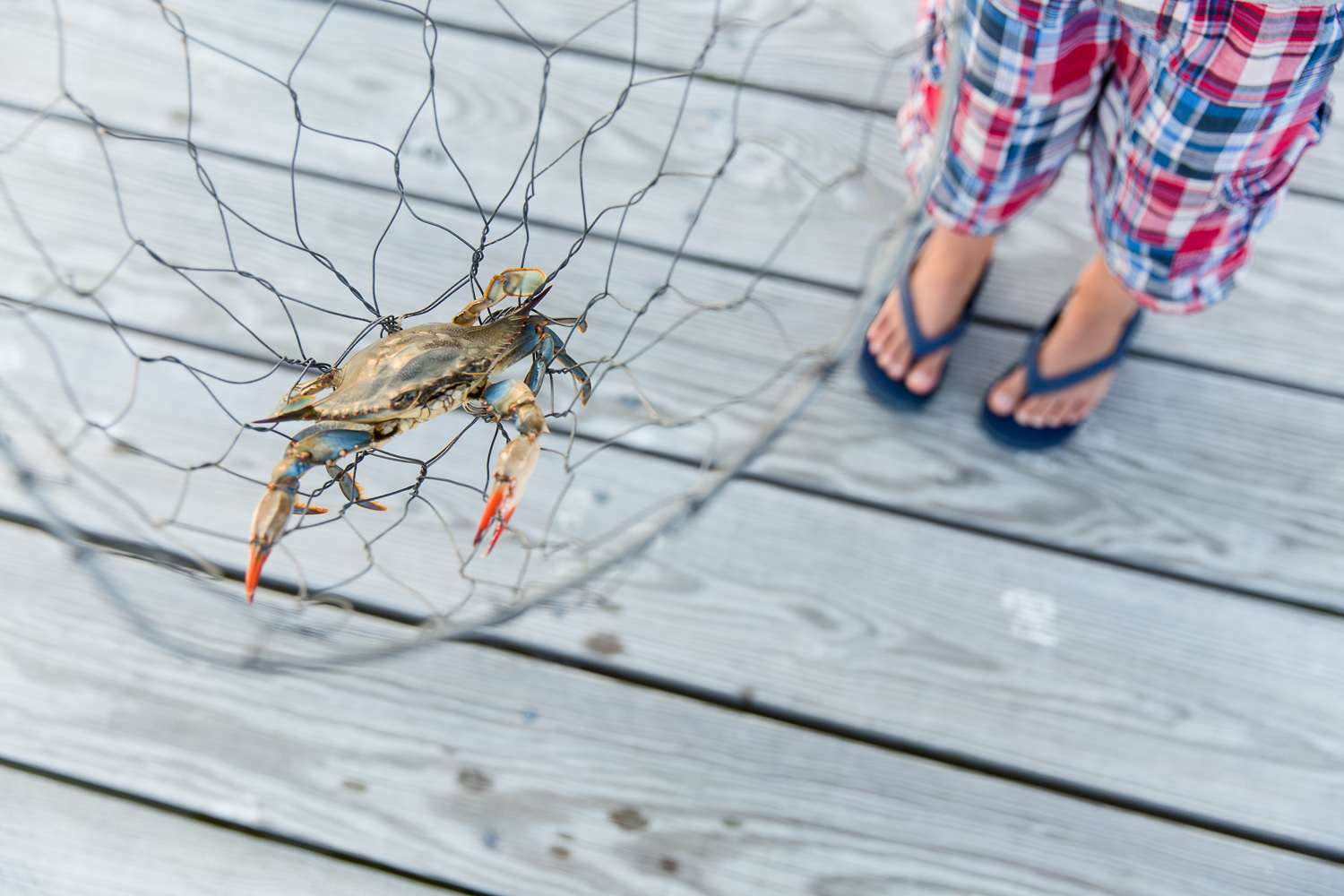A little boy catches a Maryland Blue Crab in Rock Hall, Maryland