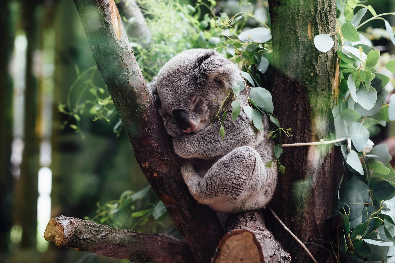 Take a day nap like this Koala, we give you permission.