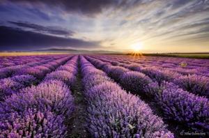 lavender-fields-harvesting-6.jpg
